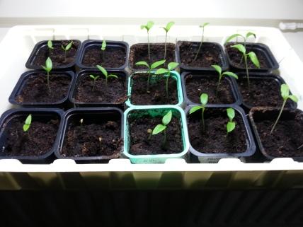 Chiliplantor på väg upp