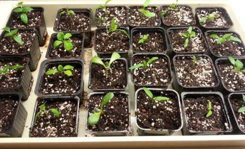 omplanterade chiliplantor