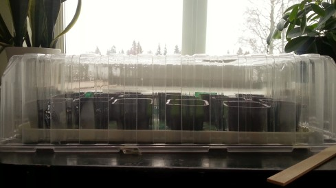 chilisådd i minidrivhus