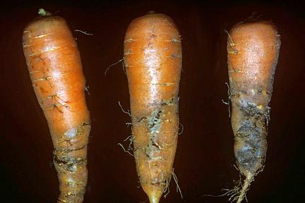 morötter angripna av morotsflugelarver