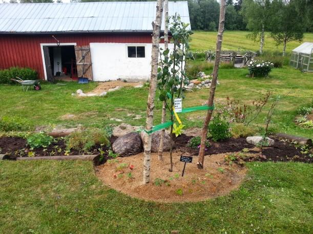 Äppelträd i ringrabatten