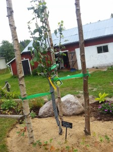 Äppelträd Malus Silva