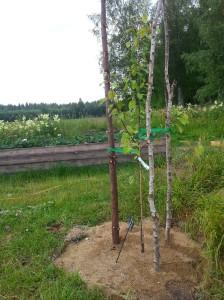 Äppelträd Pepi